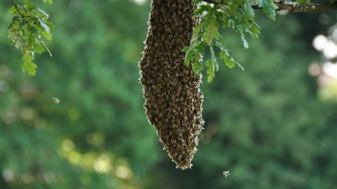 honey-bee-swarm-678x381