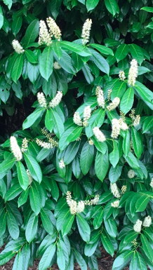 cherry-laurel-e1556742812596.png