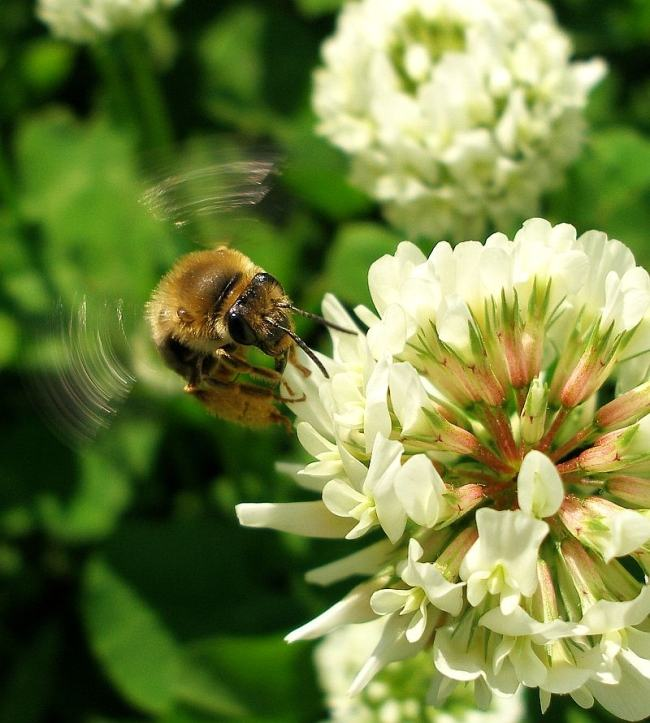 Bee-on-clover