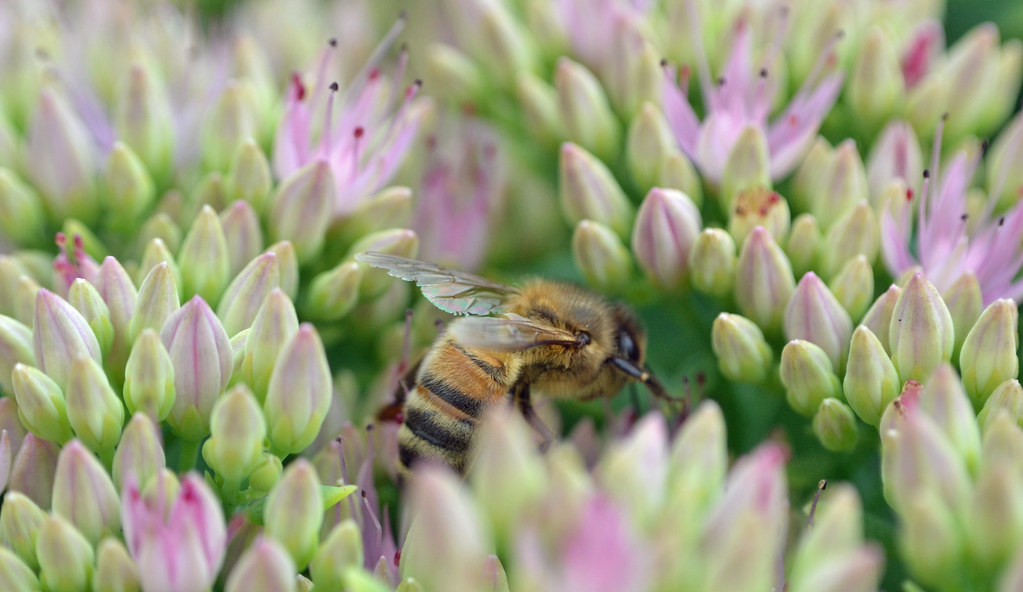 Honeybee on Sedum (Credit Conall McCaughey)