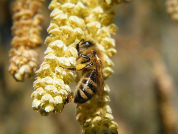 bee on hazel