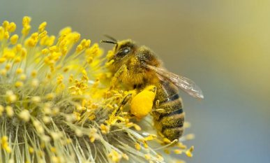 goat willow bee
