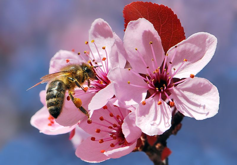 bee cherry tree