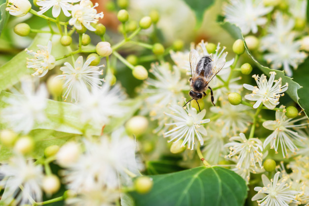 bee-pollinates-linden-flowers-honey-bee-lime-branches_98862-765