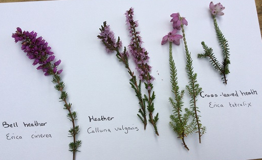Heathers: Bell, Ling and Cross-leaved