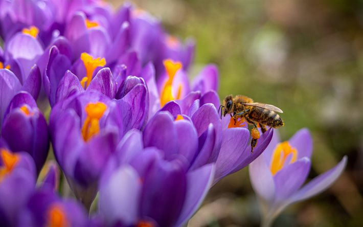 thumb2-bee-on-flowers-crocuses-spring-flowers-bee-collecting-honey-purple-flowers