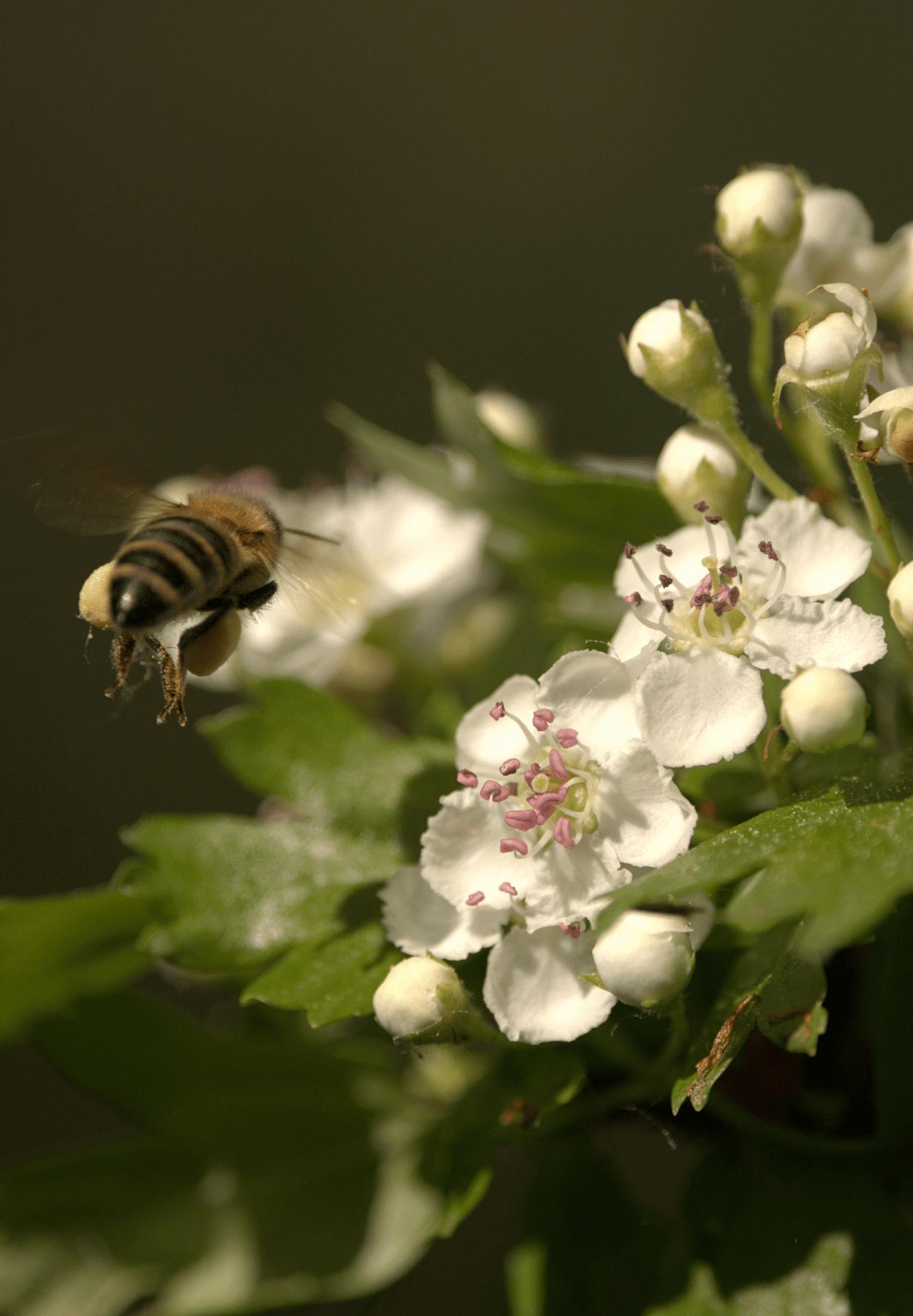 honey bee on hawthorn